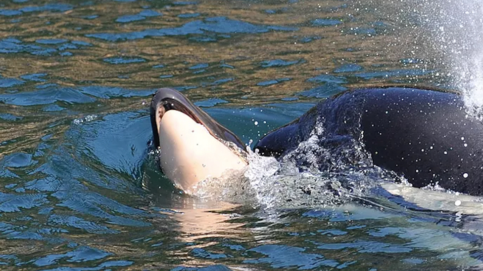 killer+whale+still+carrying+dead+baby+after+16+days