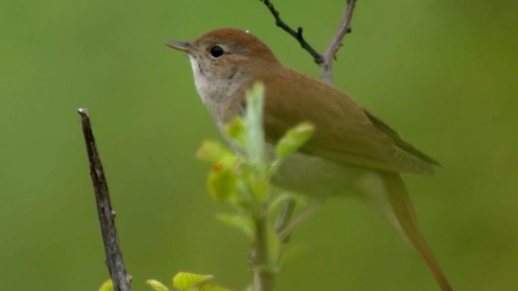 Nightingales 'could become extinct in Hampshire'
